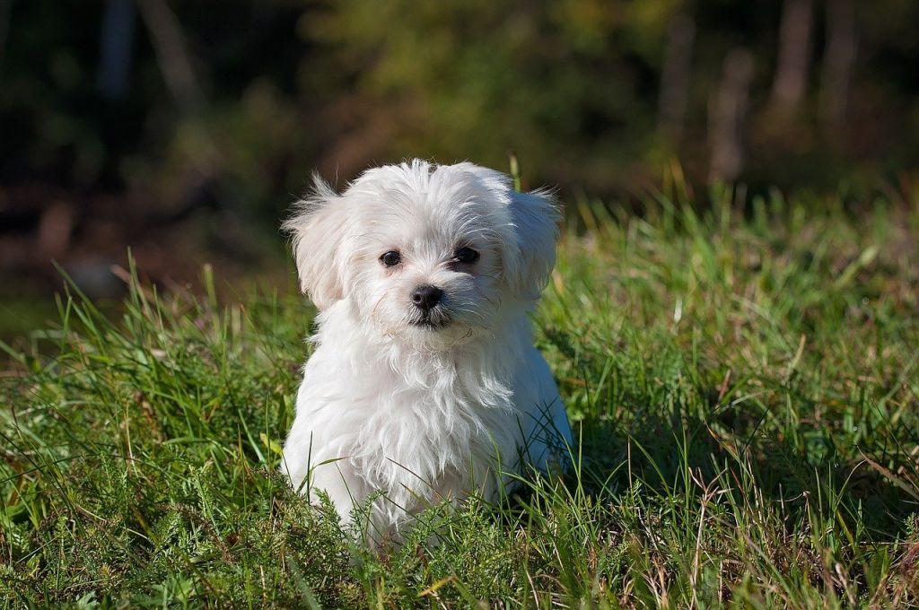 maltese chien